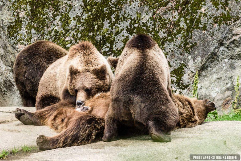 A mother bear giving milk to her youngs in Ähtäri Zoo, Finland, 2017, photo Anna-Stiina Saarinen