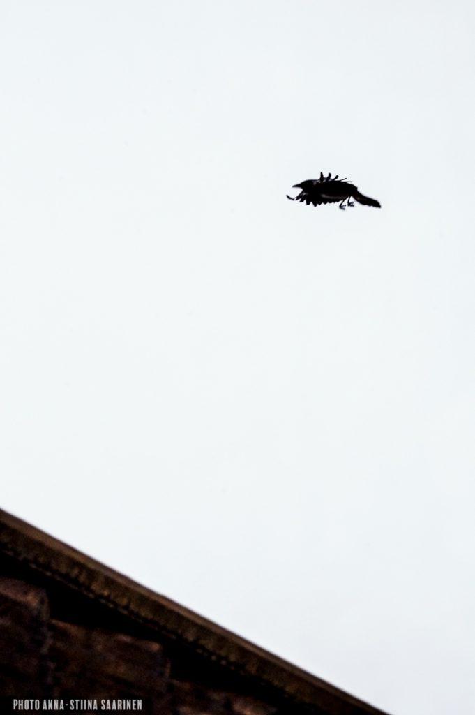 """""""A bird of ill omen"""" above the church of Porvoo 2014, photo Anna-Stiina Saarinen"""