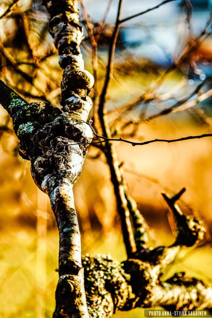 """Pain."" Dwarf birch 2014, photo Anna-Stiina Saarinen"