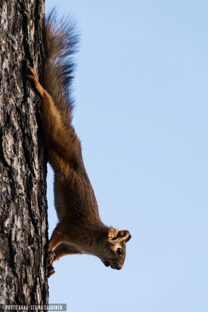 Squirrel, Valkeakoski Finland, photo Anna-Stiina Saarinen