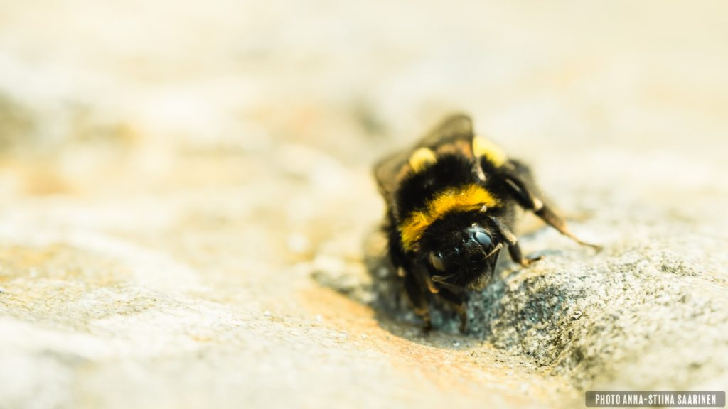 A bumblebee Queen, early spring, Valkeakoski Finland, photo Anna-Stiina Saarinen