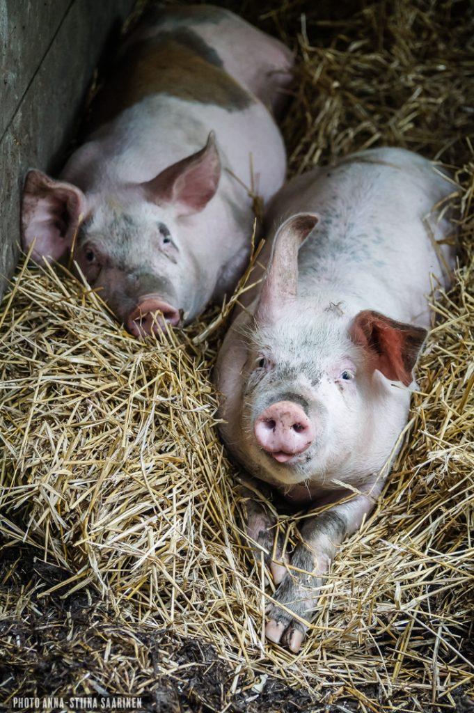Pigs in a small farm. Pälkäne, Finland, photo Anna-Stiina Saarinen