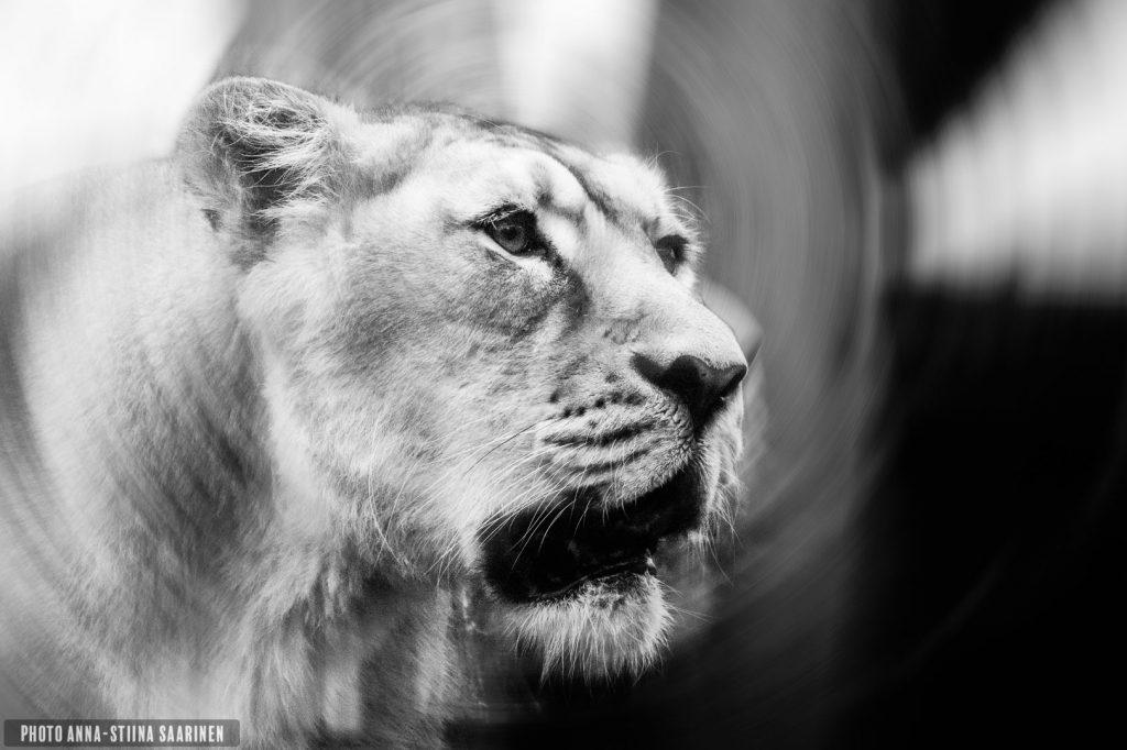 Lioness, the old one 2016, photo Anna-Stiina Saarinen