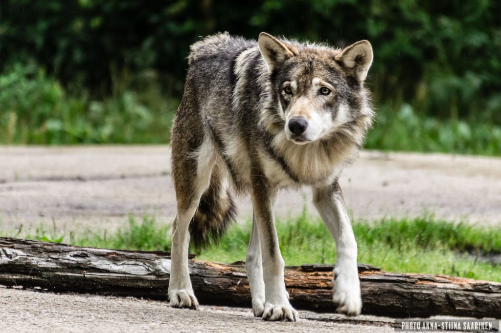 A female wolf in the Ähtäri Zoo, Finland. 2017, photo Anna-Stiina Saarinen