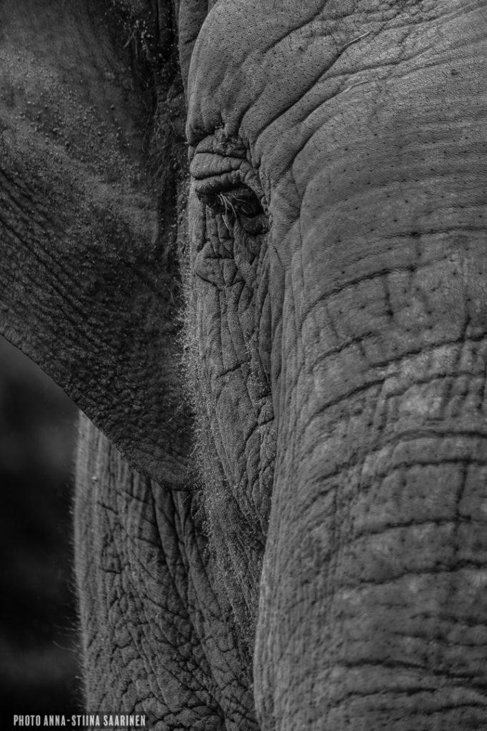 Glance of an Asian elephant, Givskud Safari Park, Denmark, photo Anna-Stiina Saarinen