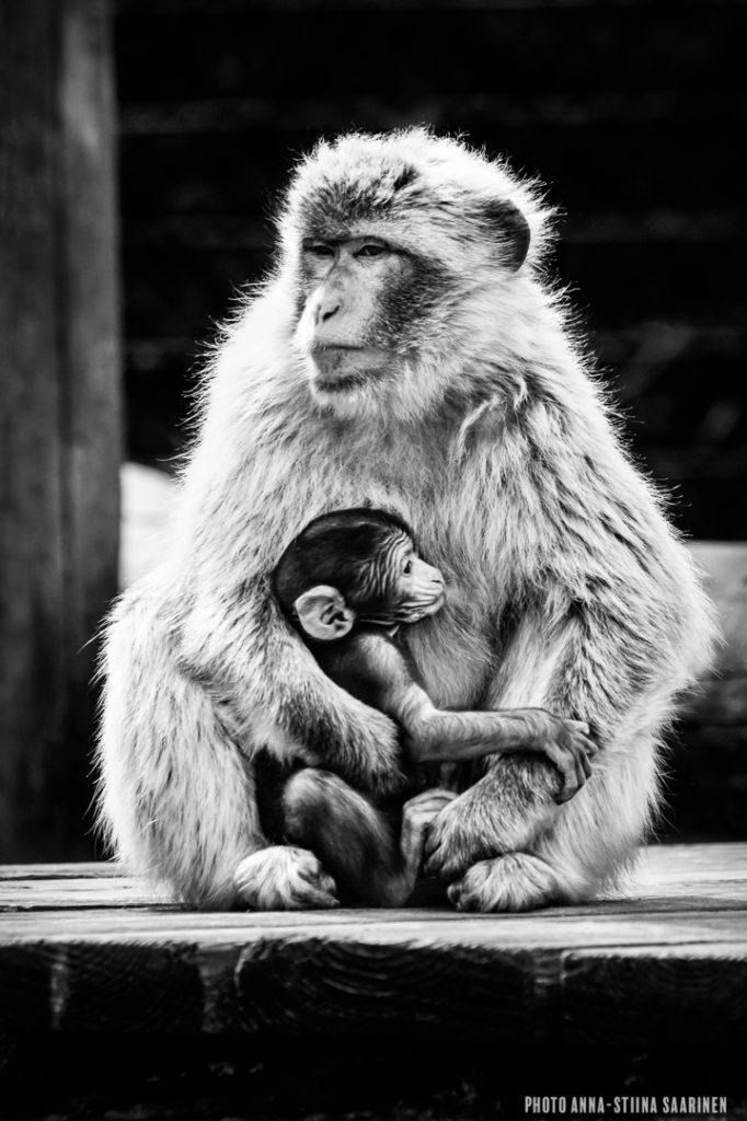 Barbary ape mother and baby in Givskud Safari Park, Denmark 2015, photo Anna-Stiina Saarinen
