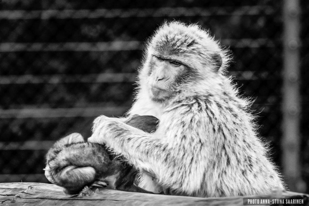 A Barbary ape mother and baby in Givskud Safari park, Denmark, photo Anna-Stiina Saarinen