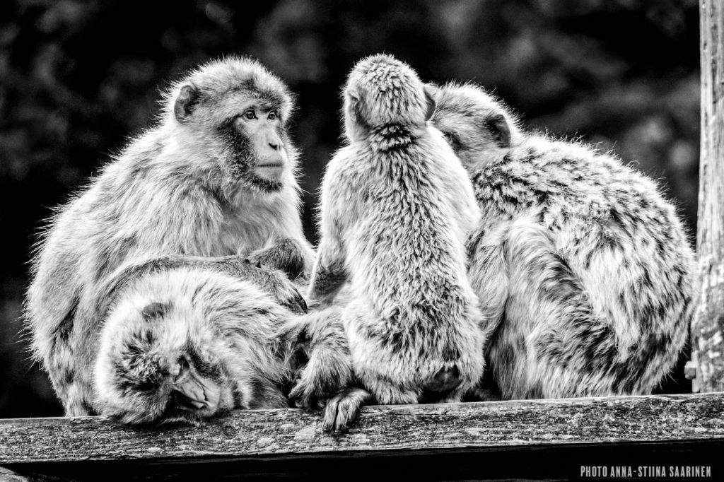 Barbary apes in Givskud Safari Park, Denmark 2015, photo Anna-Stiina Saarinen