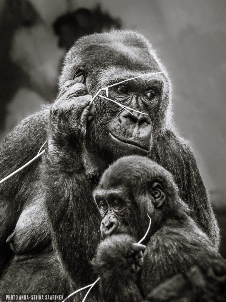 Gorilla mother and son in Givskud Safari park, Denmark. 2015, photo Anna-Stiina Saarinen