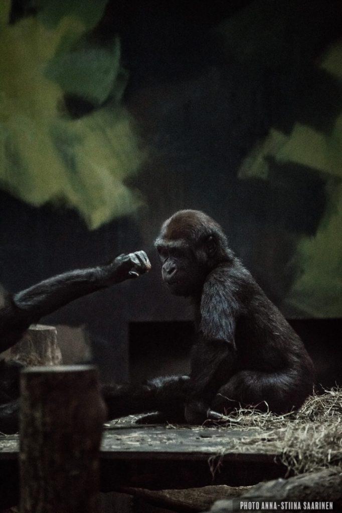 Aggression, gorilla brothers in Givskud Safari park, Denmark. 2015, photo Anna-Stiina Saarinen