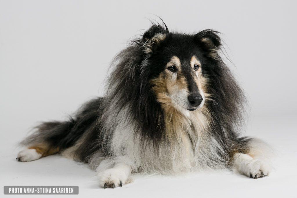 Pet portrait, 15 years, Rimmi, Shep's Zong of Love, collie, photo Anna-Stiina Saarinen