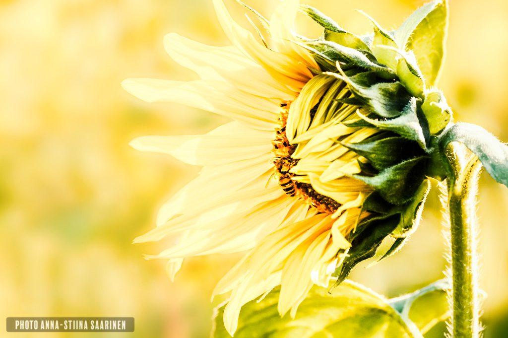Sunflower feeding a Bee, photo Anna-Stiina Saarinen