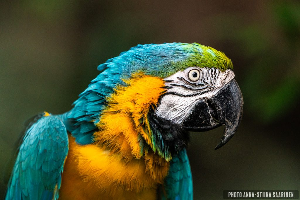 Blue and yellow macaw in Central Park Zoo NYC, photo Anna-Stiina Saarinen