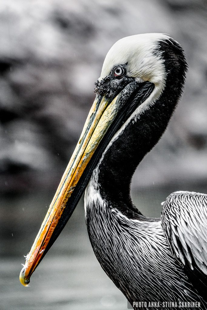 A Pelican in Bronx Zoo NYC 2018, photo Anna-Stiina Saarinen