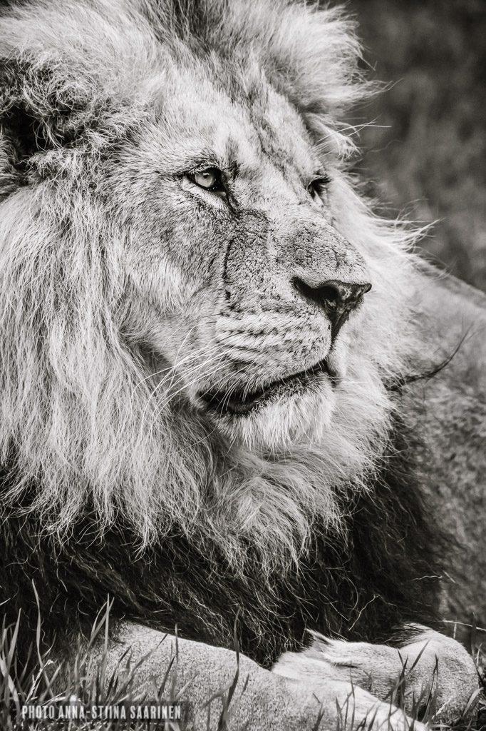 A lion in Givskud Safari Park Denmark, 2015 photo Anna-Stiina Saarinen
