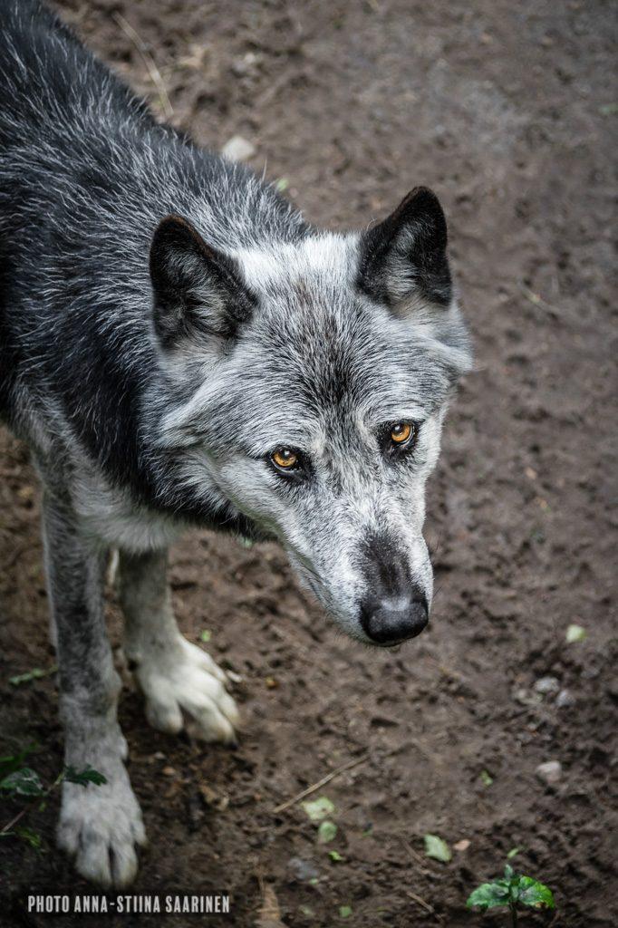 A grey wolf in Givskud Safari Park, Denmark, photo Anna-Stiina Saarinen