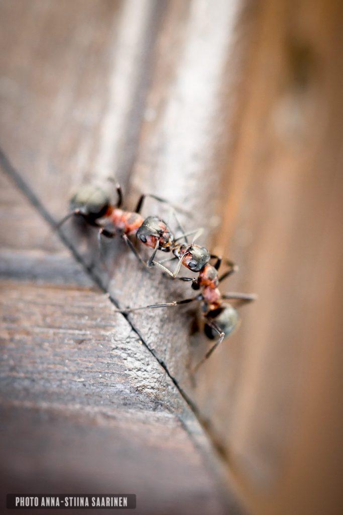 Ants, photo Anna-Stiina Saarinen