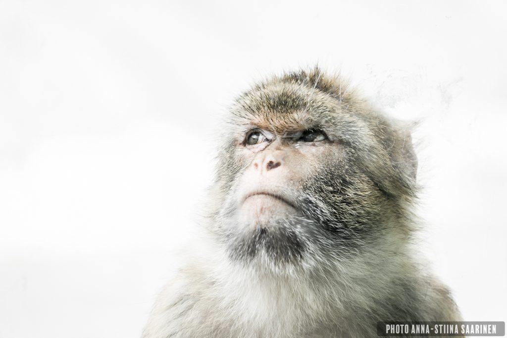 Barbary ape, Korkeasaari Zoo Helsinki photo Anna-Stiina Saarinen