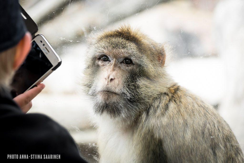 A kid watching a barbary ape, Korkeasaari Zoo Helsinki photo Anna-Stiina Saarinen