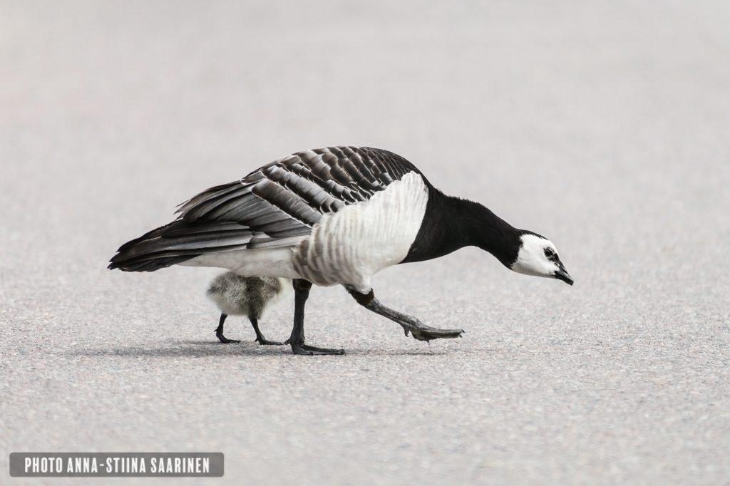 Barnacle Goose and chicken in the street, photo Anna-Stiina Saarinen