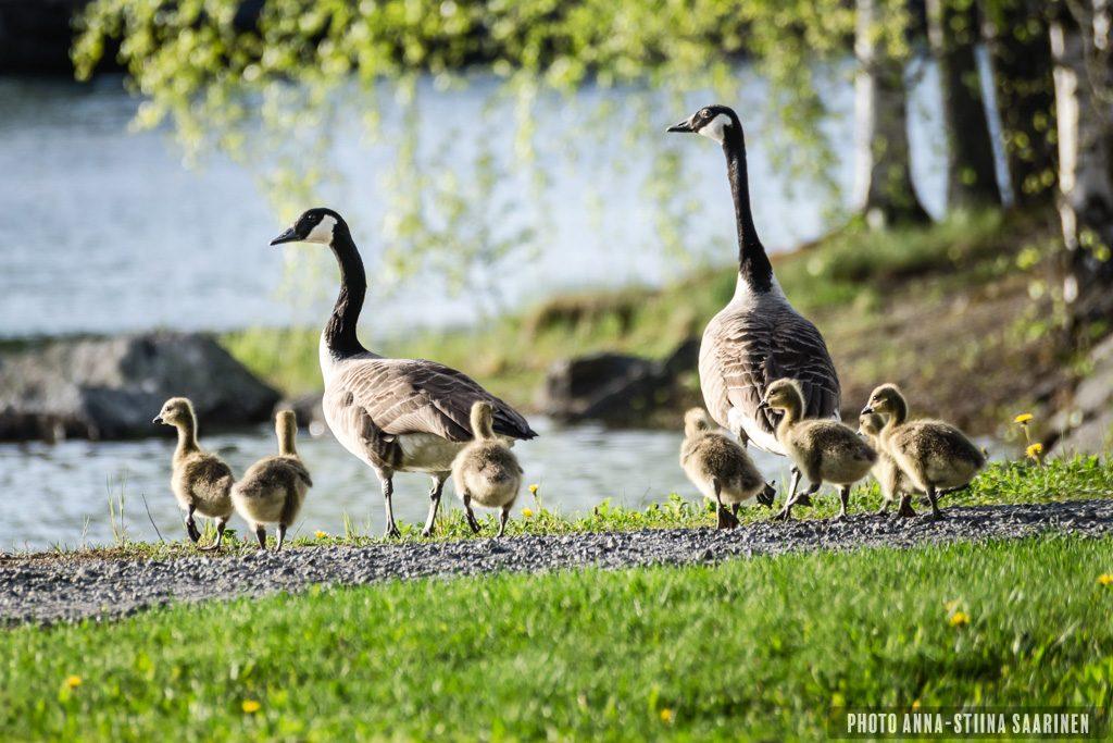 Goose family in spring, Valkeakoski Finland, photo Anna-Stiina Saarinen