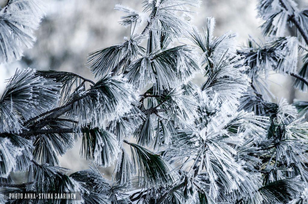 Needles of pine, photo Anna-Stiina Saarinen