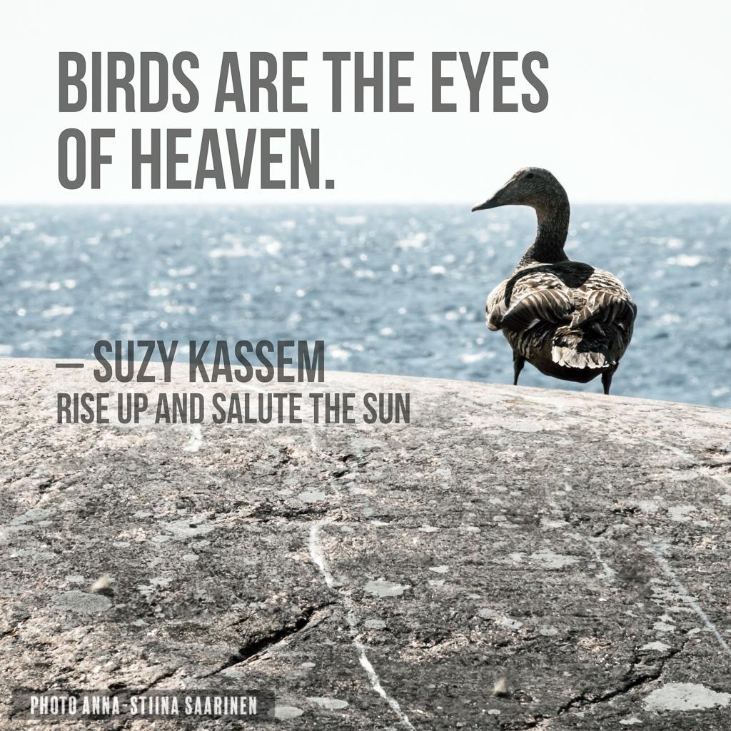 Quote Birds are the eyes of Heaven. Common Eider on the rock of Bengtskär lighthouse Finland, photo Anna-Stiina Saarinen