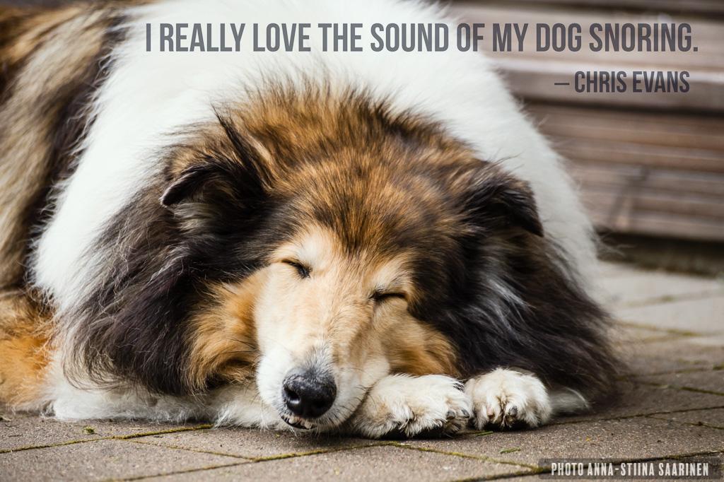 Quote Sound of my Dogs snoring, collie Pimu 12 years, photo Anna-Stiina Saarinen
