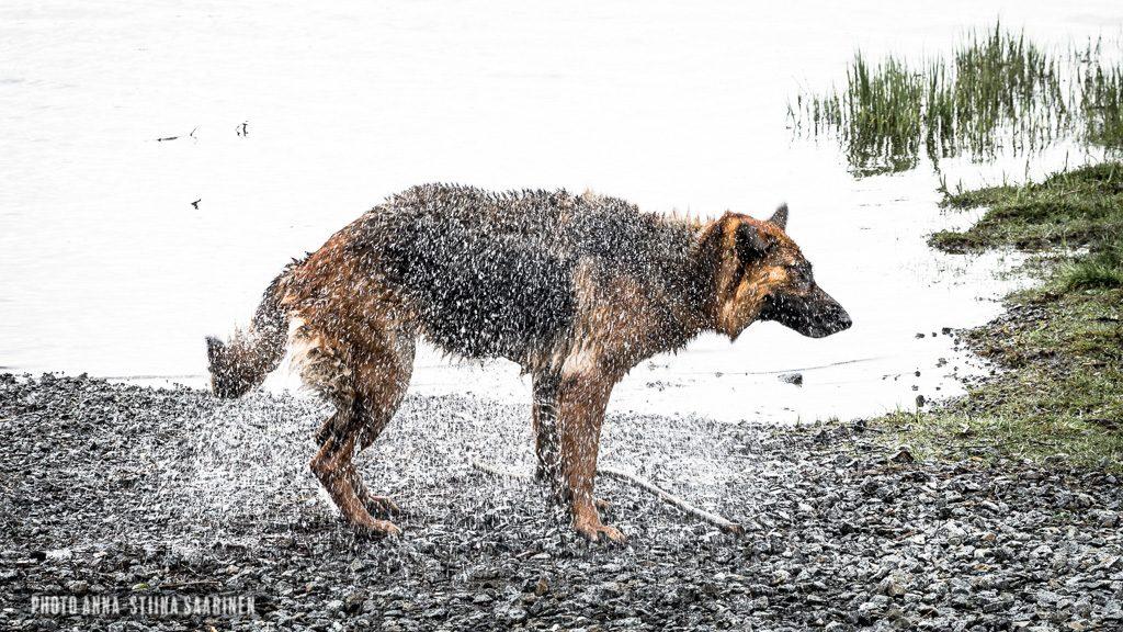 Dog's shower in the shore of Lake Lotila, Valkeakoski Finland, photo Anna-Stiina Saarinen