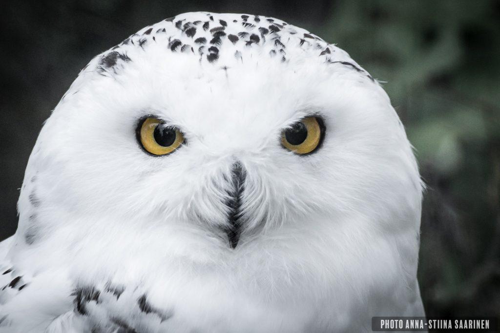 Snowy Owl, Korkeasaari Zoo Finland, photo Anna-Stiina Saarinen