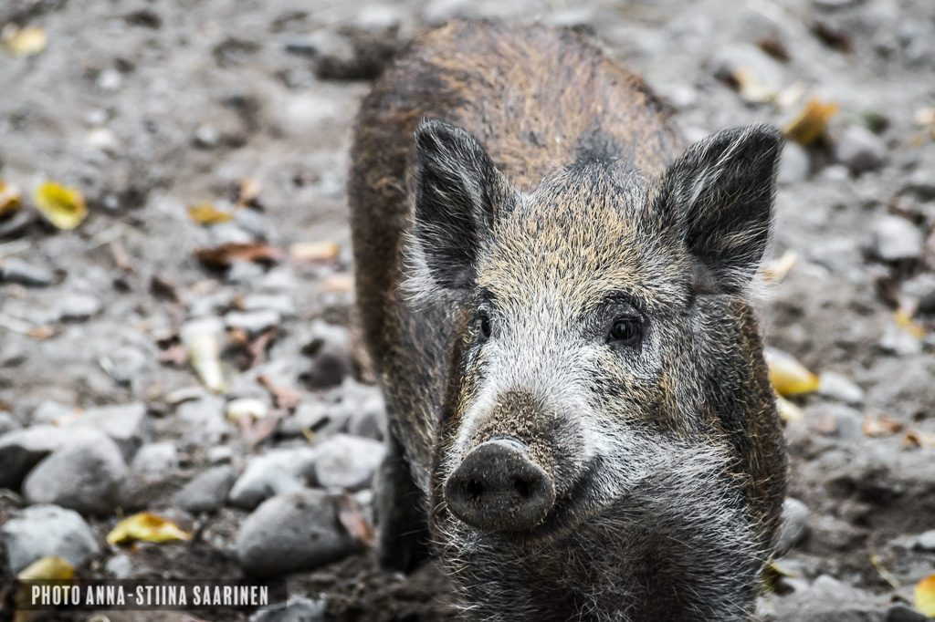 Wild boar in Korkeasaari Zoo, Helsinki, photo Anna-Stiina Saarinen