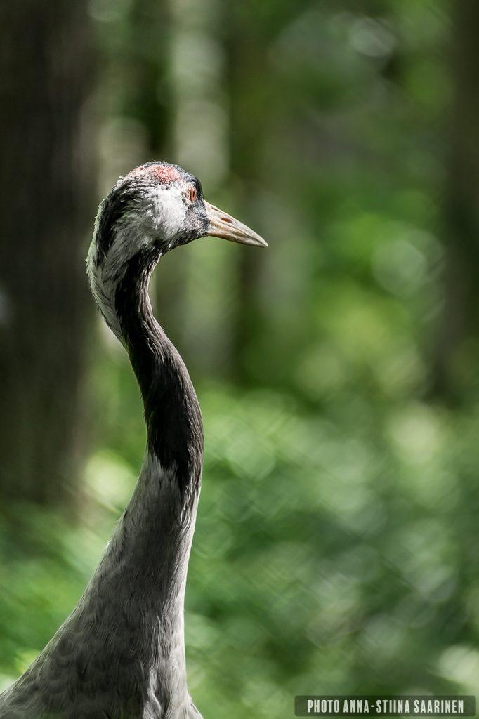 common crane In Ähtäri Safari Park, photo Anna-Stiina Saarinen
