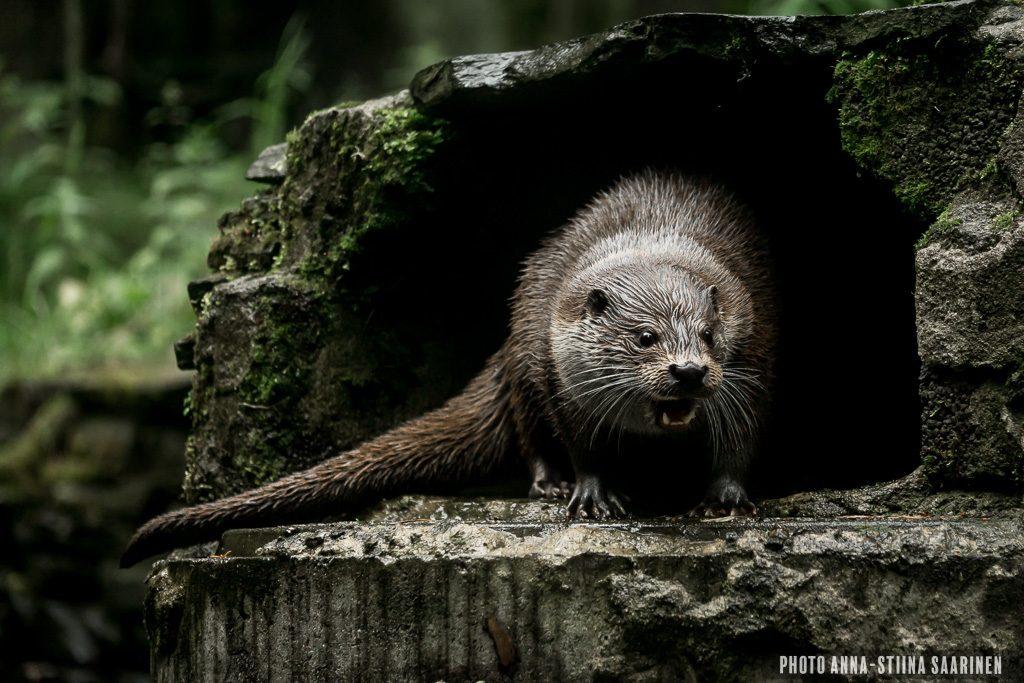 European Otter Ähtäri Safari Park photo Anna-Stiina Saarinen