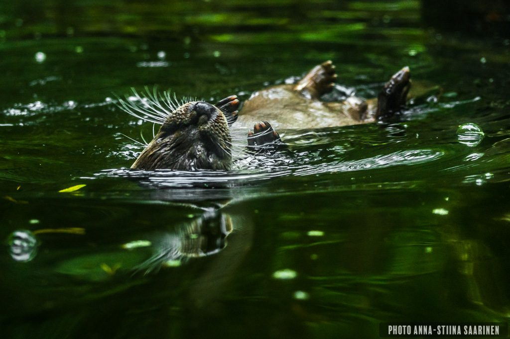 European otter, saukko, Ähtäri_photo Anna-Stiina Saarinen