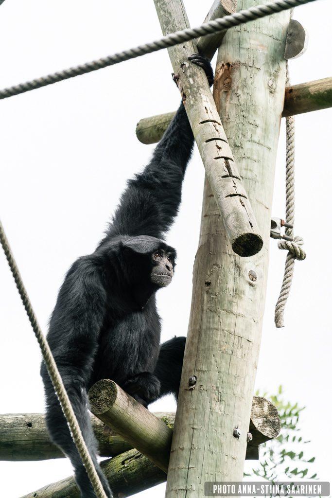 Black howler monkey Lisboa Zoo, photo Anna-Stiina Saarinen