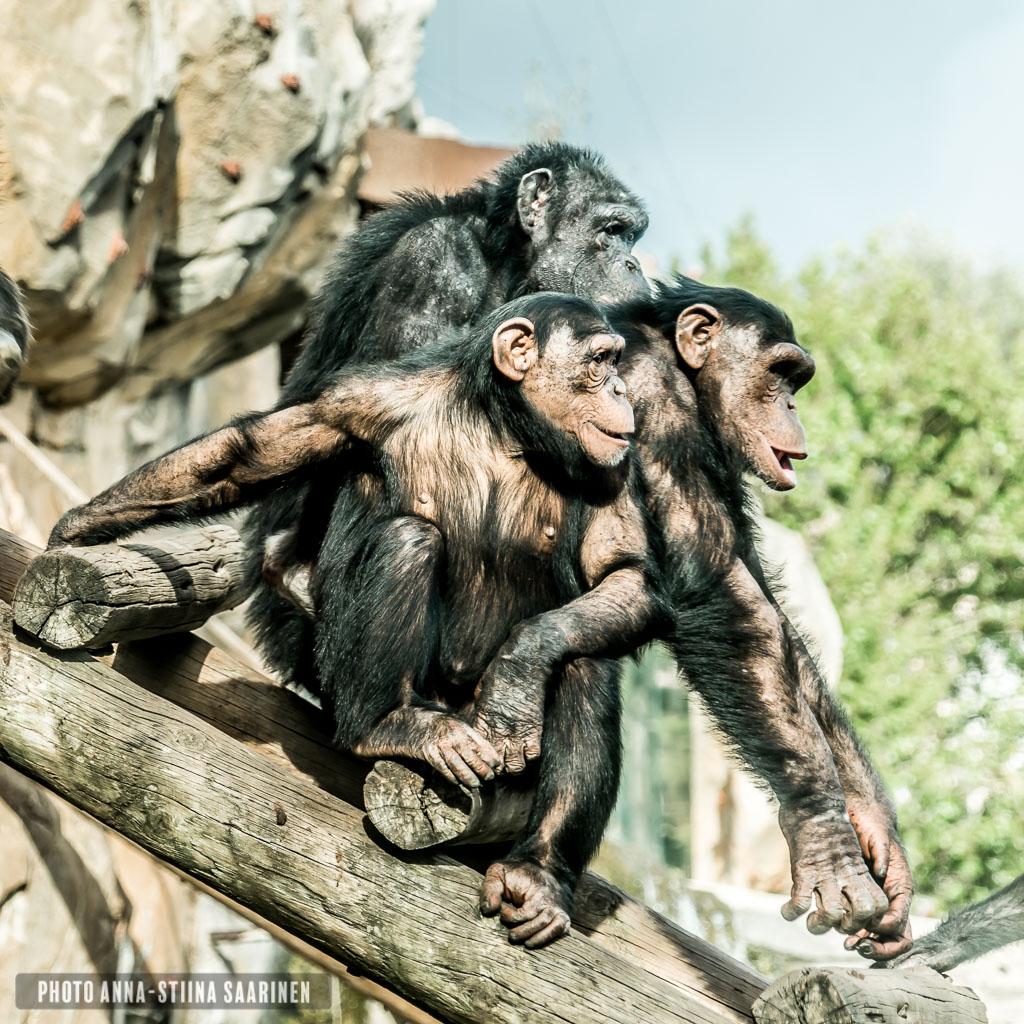 Chimpanzees Lisboa Zoo, photo Anna-Stiina Saarinen