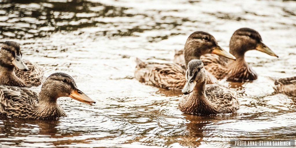 Female ducks in River Kymijoki photo Anna-Stiina Saarinen