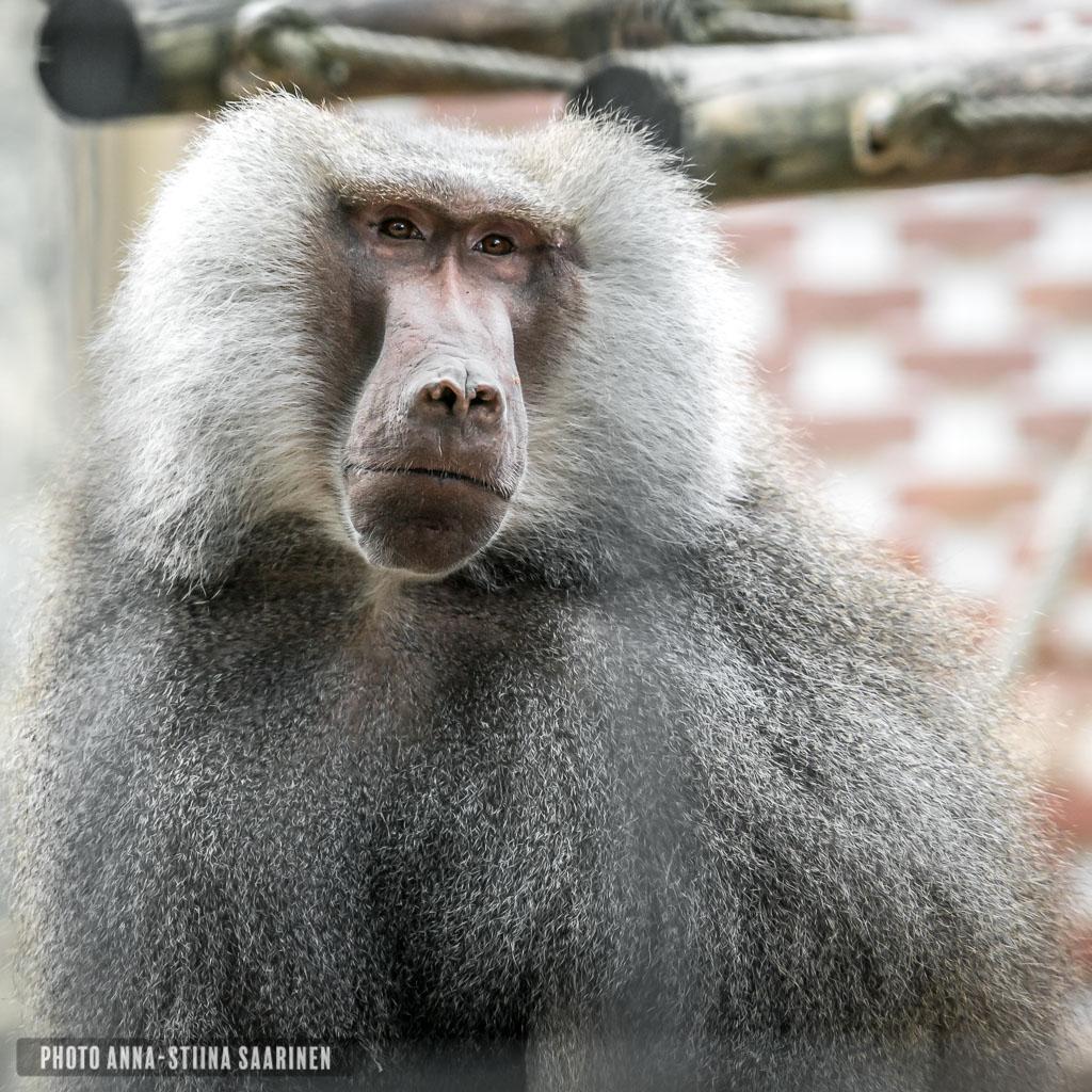 Hamadryas baboon, Lisboa Zoo, photo Anna-Stiina Saarinen
