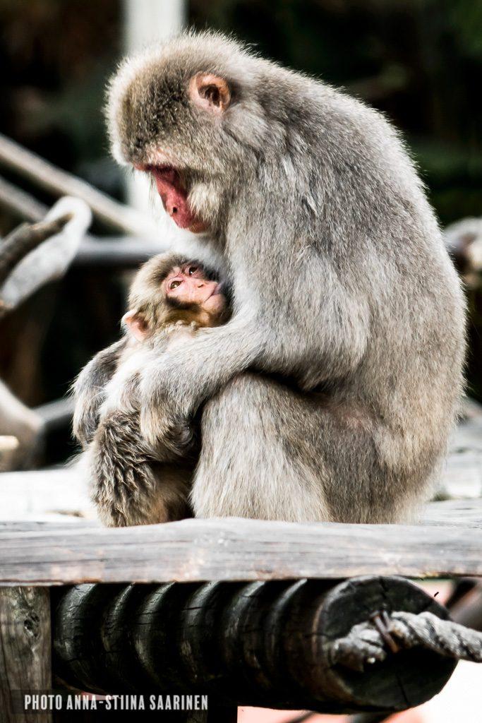 Japanese macaque mom and baby, Lisboa zoo, photo Anna-Stiina Saarinen