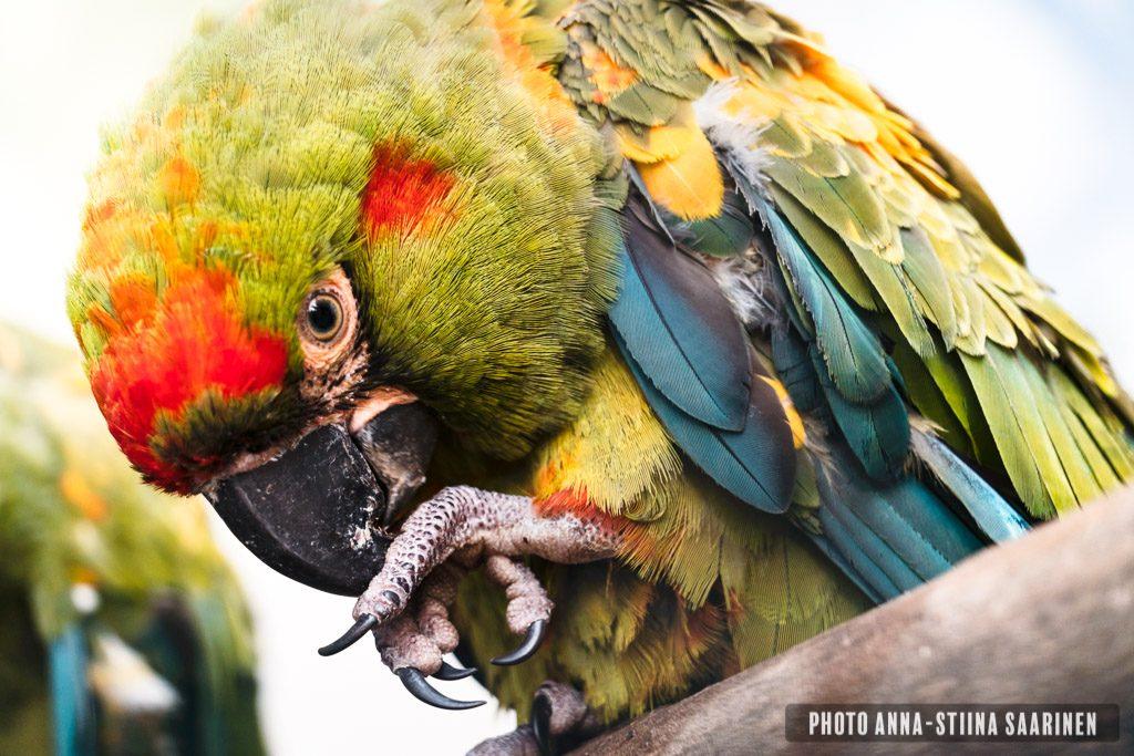 Military Macaw Lisboa Zoo, photo Anna-Stiina Saarinen
