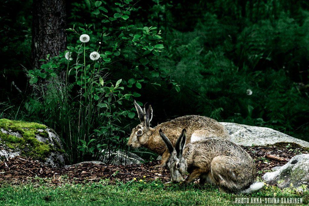Rabbits in the backyard, Valkeakoski Finland photo Anna-Stiina Saarinen