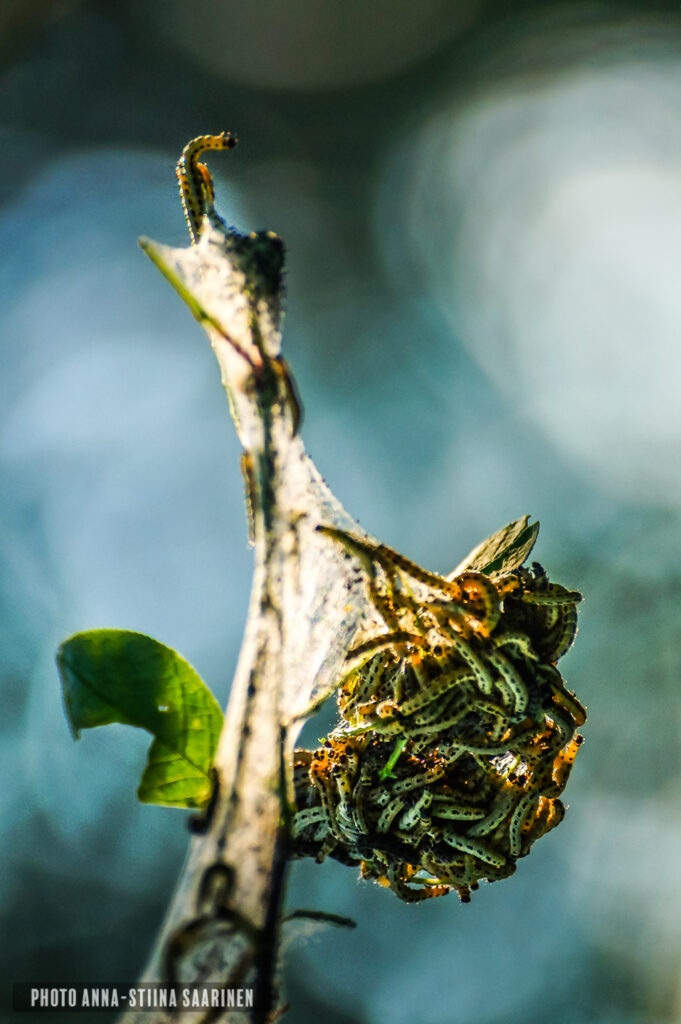 Bird-cherry ermine larvas, tuomenkehrääjäkoin toukkia, photo Anna-Stiina Saarinen annastiinasphotos.com