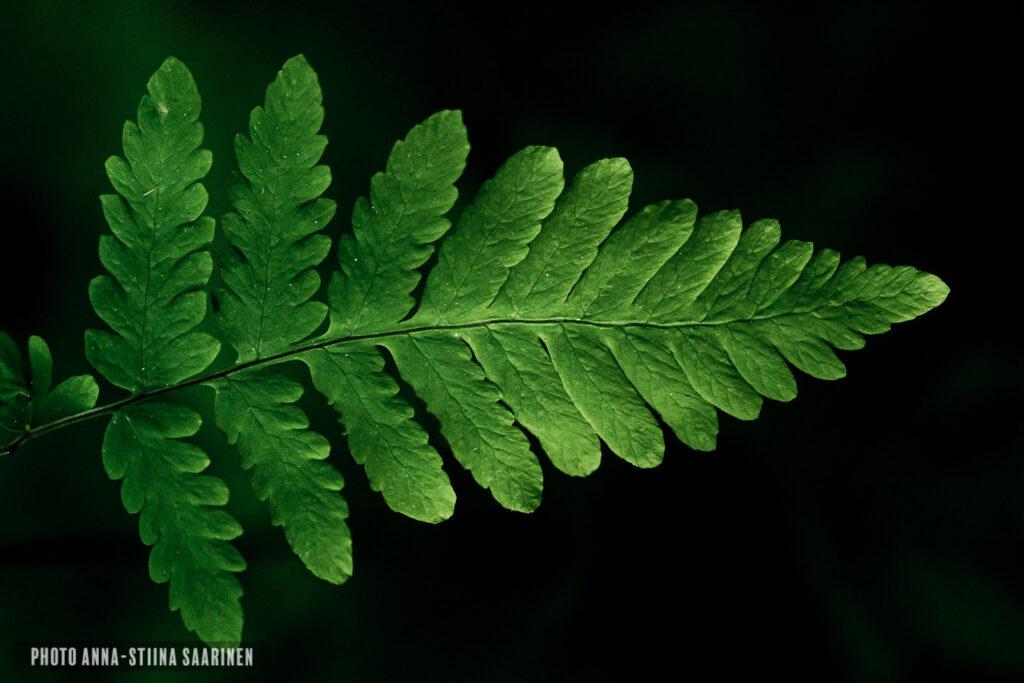 Details of the fern photoAnna-Stiina Saarinen annastiinasphotos.com