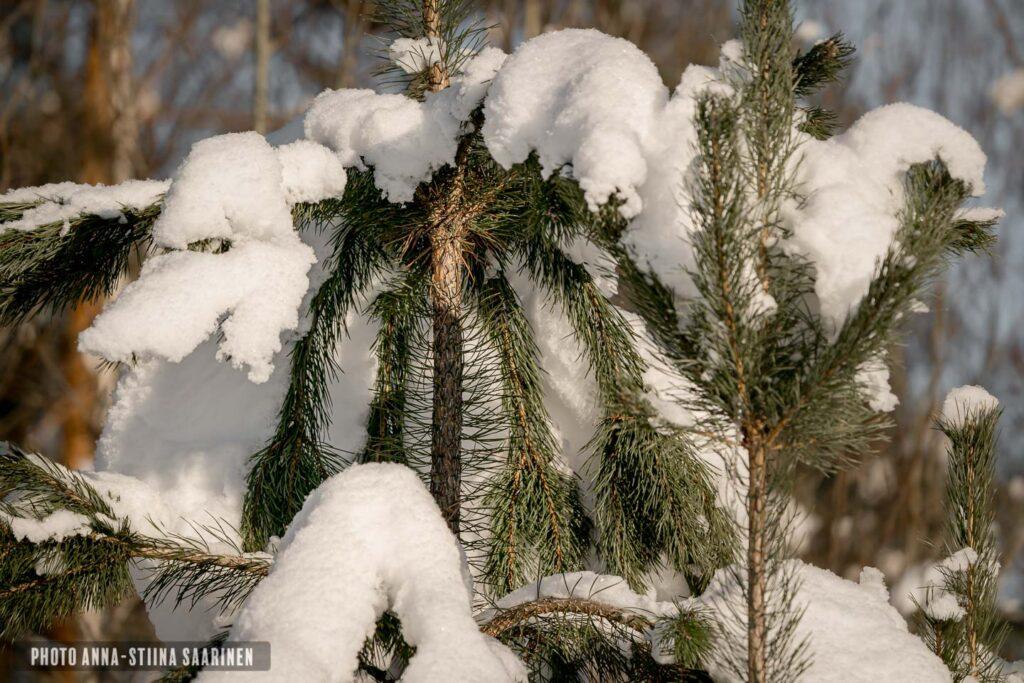 Wihter coat of the pine tree photoAnna-Stiina Saarinen annastiinasphotos.com