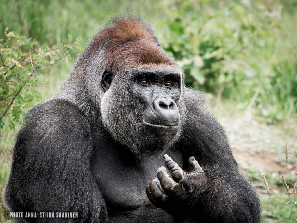 Gorilla male in Givskud Safari Park photographer Anna-Stiina Saarinen annastiinasphotos.com