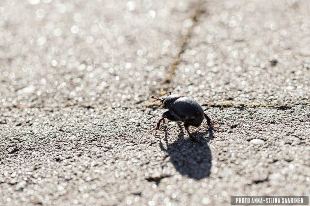 Beetle walking photo Anna-Stiina Saarinen annastiinasphotos.com