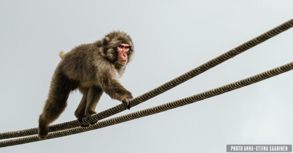 Japanese macaque in Lisboa zoo, photo Anna-Stiina Saarinen annastiinasphotos.com