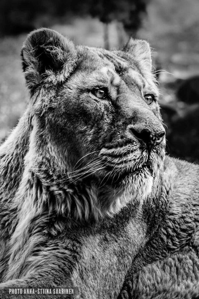Female lion Korkeasaari zoo, Finland Siberian tiger photo Anna-Stiina Saarinen annastiinasphotos.com