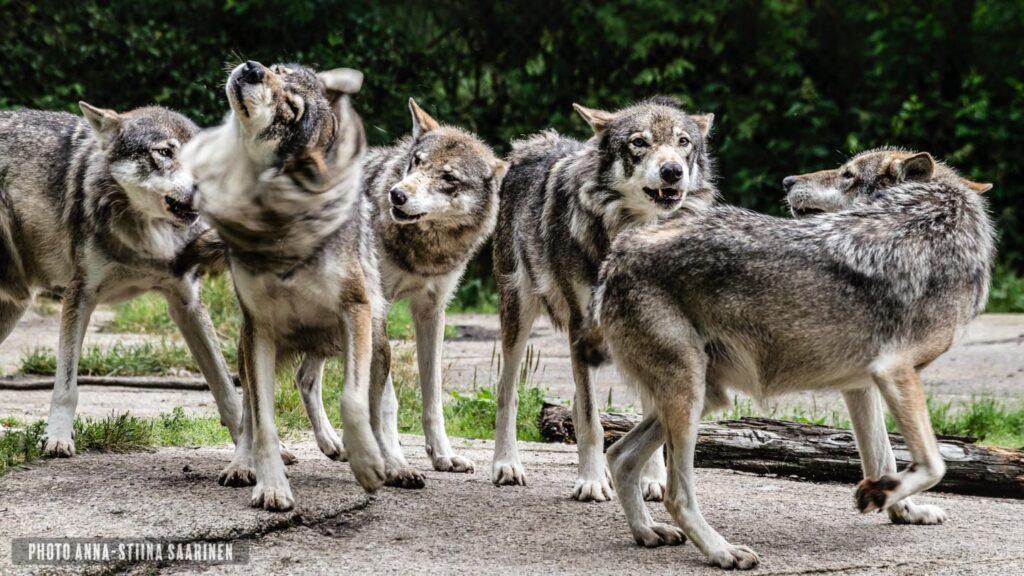 Wolfpack in Ähtäri Zoo Finland, photo Anna-Stiina Saarinen annastiinasphotos.com