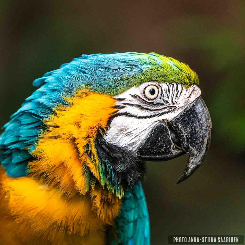 Blue parrot macaw Central PArk Zoo NYC, photo Anna-Stiina Saarinen annastiinasphotos.com